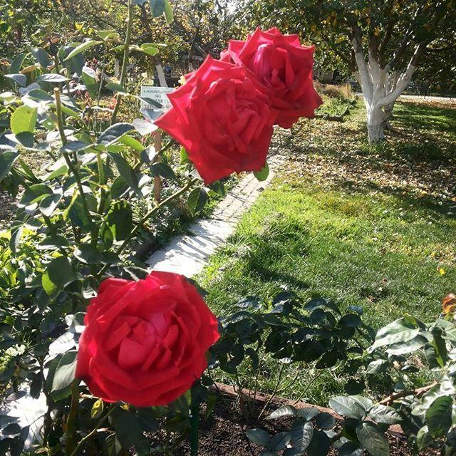 Розы уход выращивание все о розах
