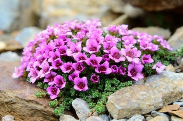 Цветущая камнеломка