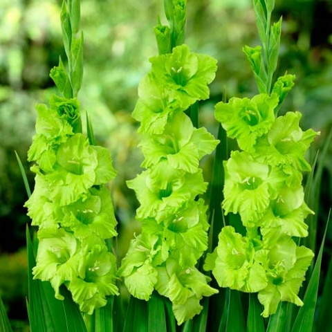 Лучистая зелень
