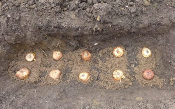 Посадка гладиолусов в открытый грунт и секреты ухода