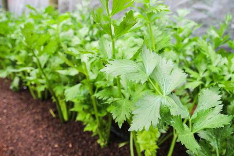Выращивание листового сельдерея – особенности посадки и ухода
