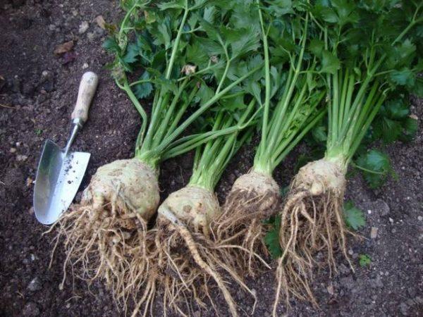 Выращивание корневого сельдерея – секреты посадки и ухода