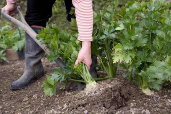 Урожай корневища