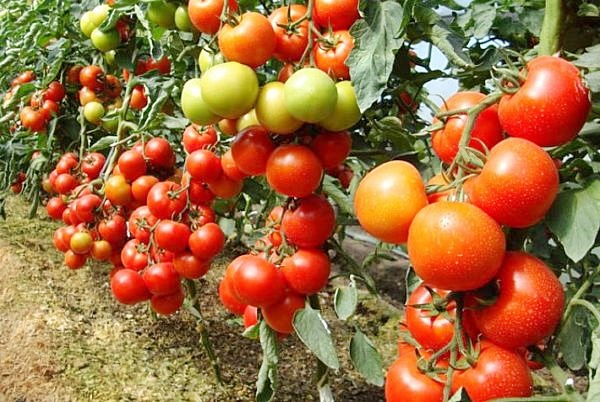 Подкормка рассады томатов в домашних условиях