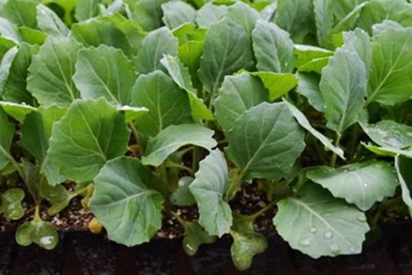 Как вырастить рассаду капусты в домашних условиях