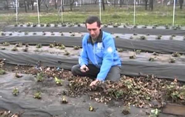 Обработка клубники после сбора урожая
