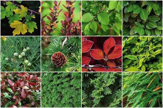 Растения для живой изгороди: выбор и посадка