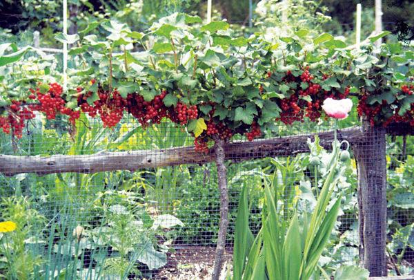 Подкормка смородины после сбора урожая