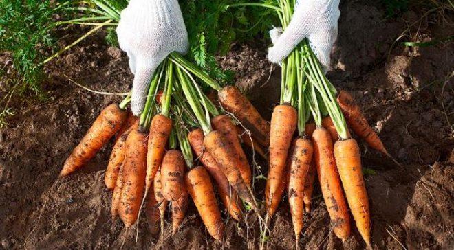 Свёкла и морковь: когда собирать в Подмосковье
