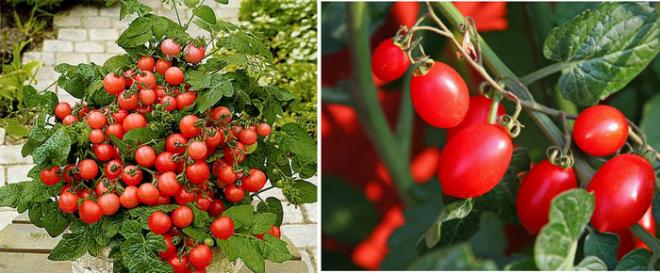 Урожай зимой: как вырастить томаты в квартире