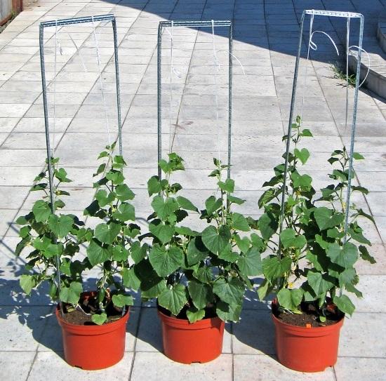 Как вырастить огурцы на подоконнике зимой