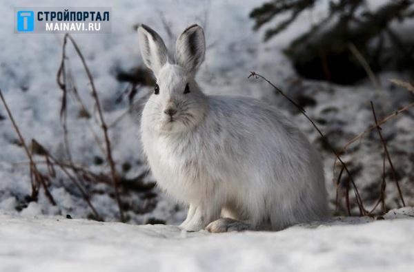 Ловушка на зайца зимой