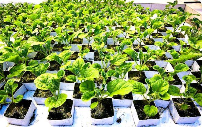 Как вырастить баклажаны на рассаду дома