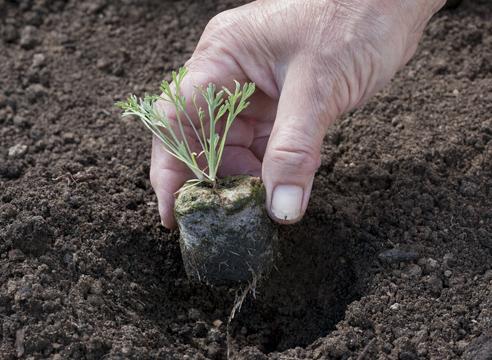 Как вырастить эшшольцию на участке