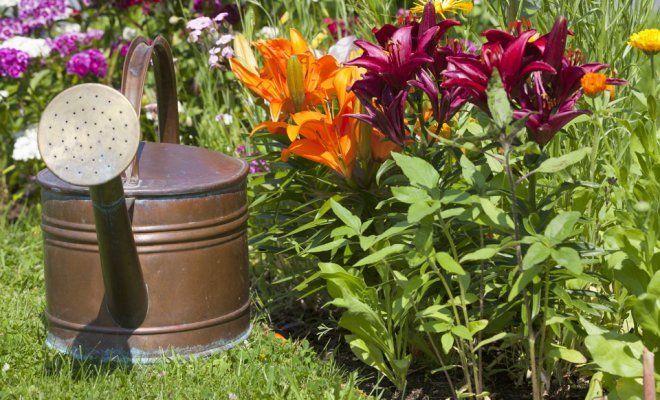Посадка лилий весной в открытый грунт