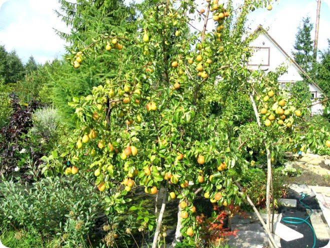Посадка яблонь весной сроки