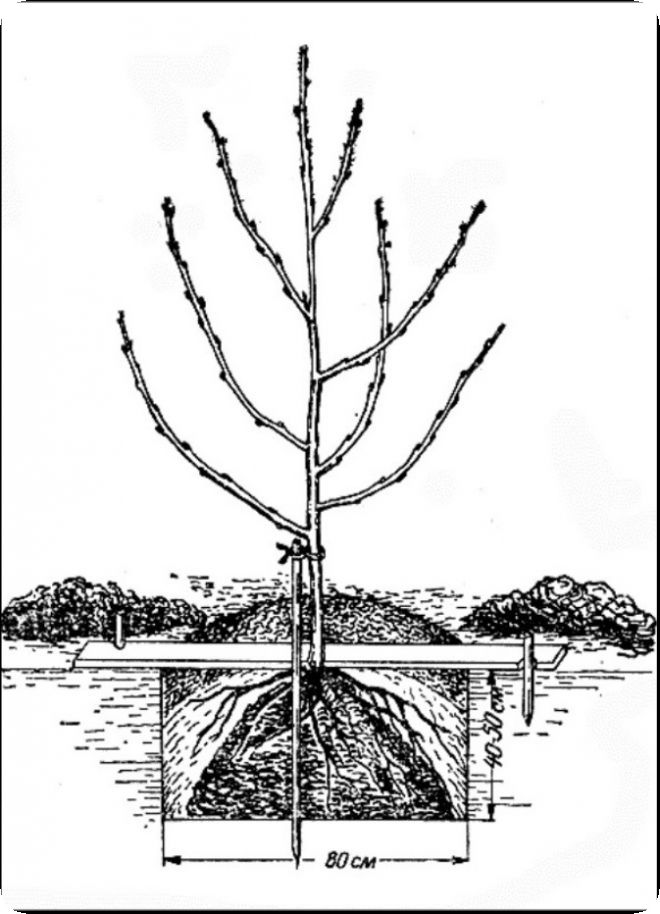 Посадка саженцев вишни весной