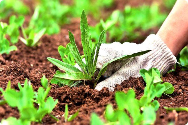 Делаем средство против сорняков