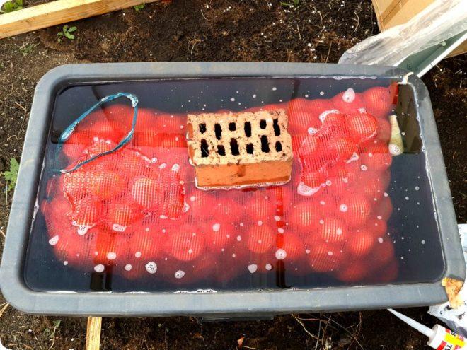 Как посадить лук-севок в грунт