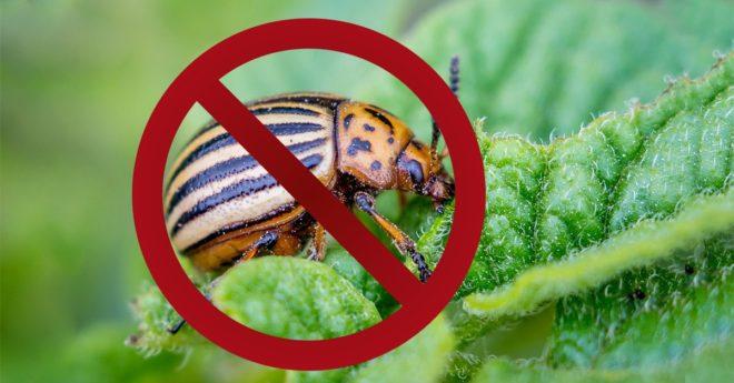 Как победить колорадского жука