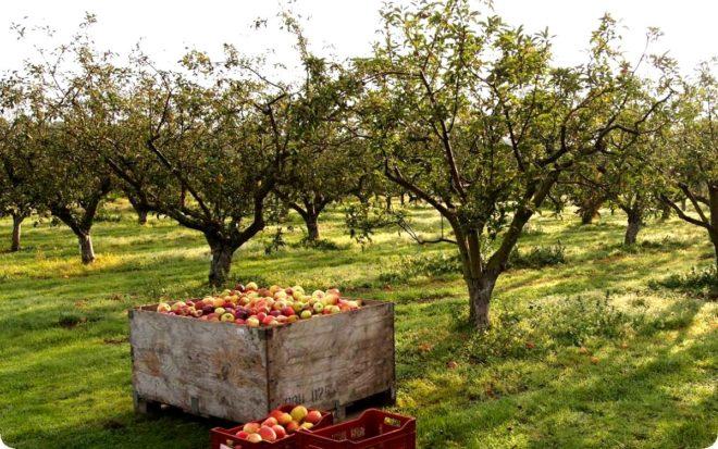 Правильный уход за яблонями летом и осенью – секреты садоводов
