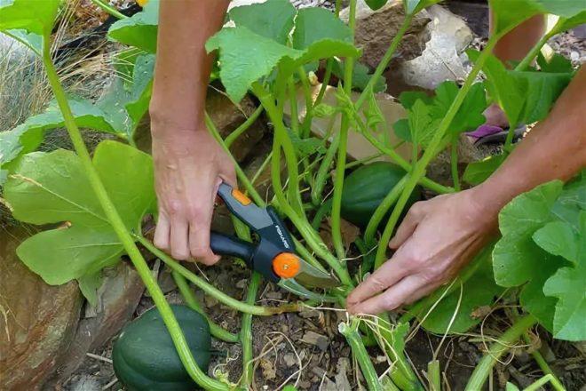 Выращиваем тыкву правильно для получения отличного урожая
