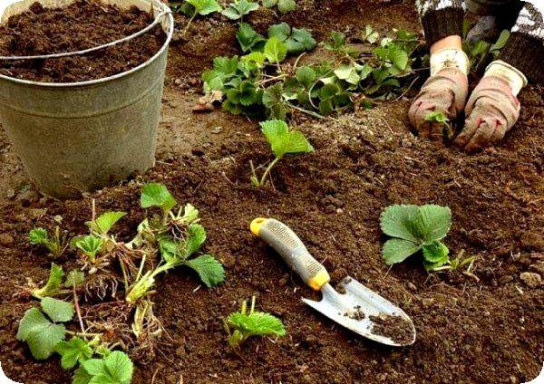 Правила посадки клубники осенью в открытый грунт