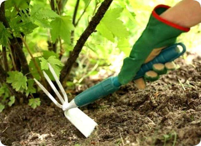 Уход за крыжовником после сбора ягод – что нужно знать каждому огороднику