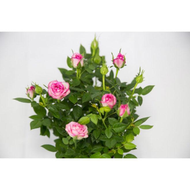 Правильная посадка розы Кордана микс для получения хорошего цветения