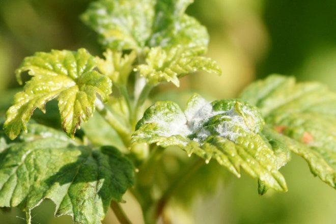 Как бороться с вредителями смородины в июле - Дом