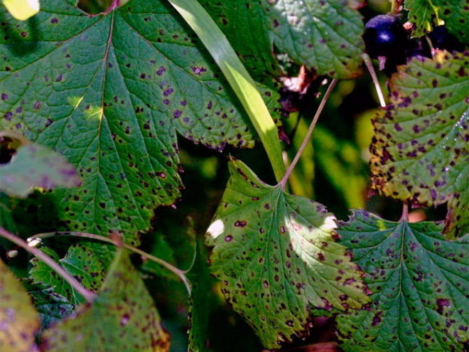 Как бороться с вредителями смородины в июле - мой метод