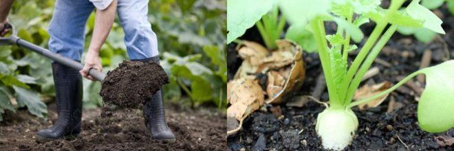 Как и когда сажать дайкон семенами в открытом грунте