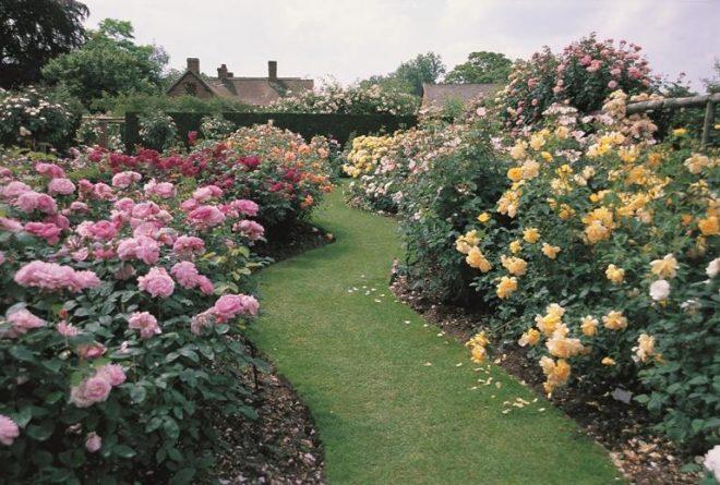 Правильная посадка роз летом