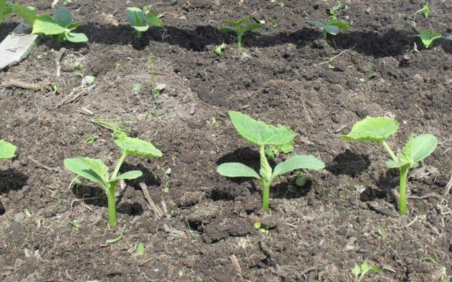 Посадка огурцов в июле – правила хорошего урожая