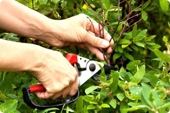 Осенняя обрезка жимолости – правильное выполнение процедуры для начинающих