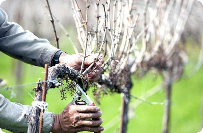 Правильная обрезка винограда осенью – необходимые основы для начинающих