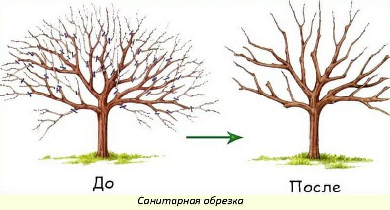 Правильная обрезка груш осенью для повышения урожайности – схемы и инструкция для начинающих