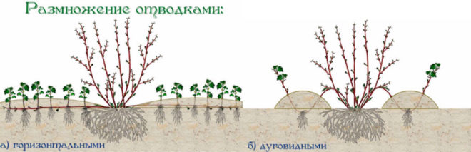 Актинидия коломикта - посадка и уход