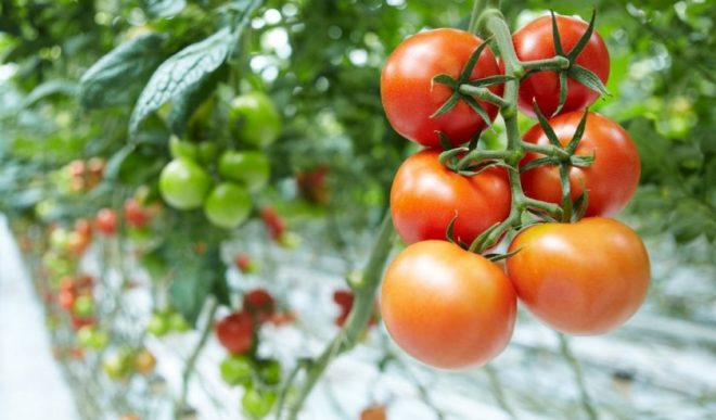 чем томат в теплице картинки шее куница