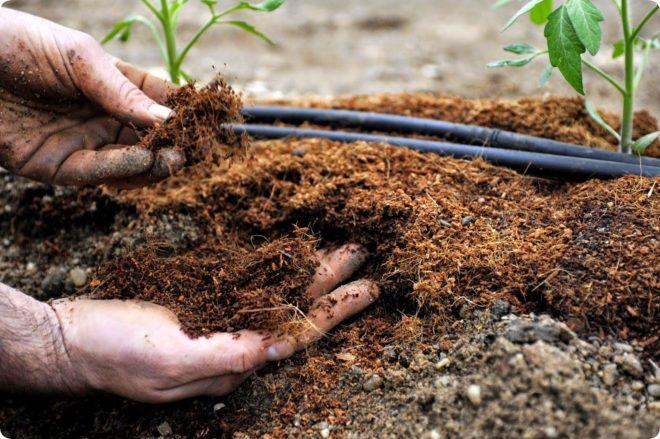 Правила выращивания и ухода за Монардой, использование в садовом дизайне