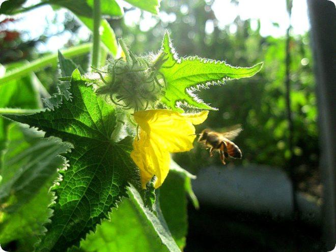 Кабачки гниют на грядке - как спасти урожай
