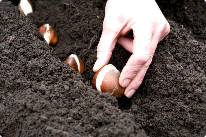 Правила осенней посадки тюльпанов - секреты экспертов