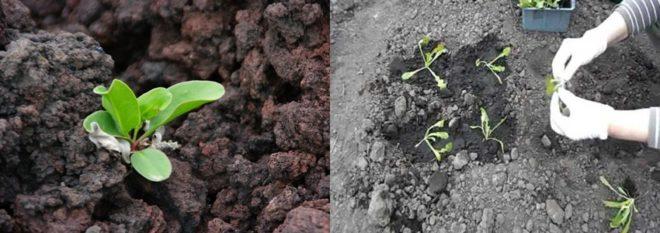 Статица - секреты выращивания
