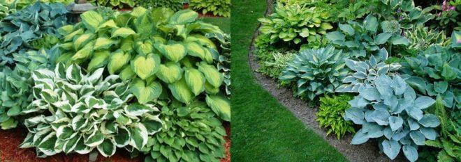 Секреты выращивания хосты в саду