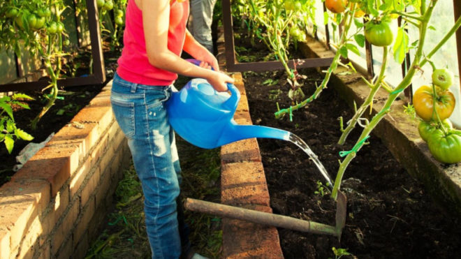 Почему помидоры трескаются при созревании