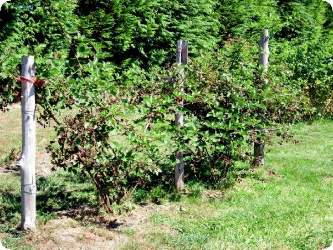 Правила посадки и ухода за садовой ежевикой в открытом грунте