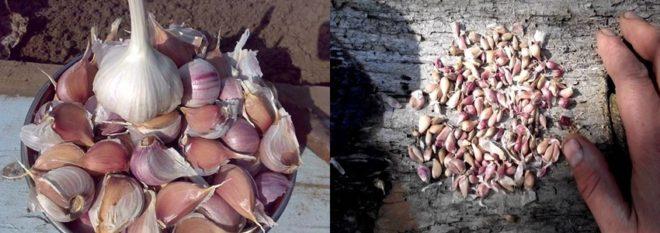 Когда сажать чеснок осенью под зиму - благоприятные дни