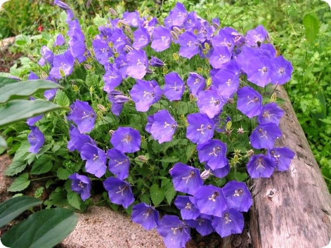 Какие цветы сажать осенью под зиму, чтобы цвели весной и летом - Дом