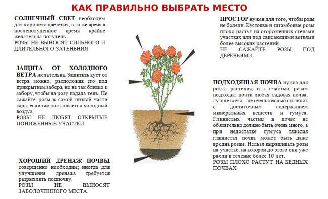 Посадка роз осенью - правила и инструкции