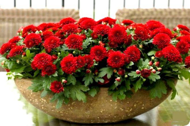 Хризантемы - как сохранить зимой